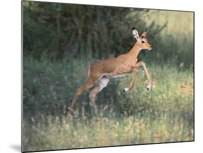 Young Impala-DLILLC-Mounted Photographic Print