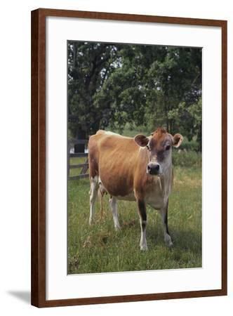 Jersey Cow-DLILLC-Framed Photographic Print