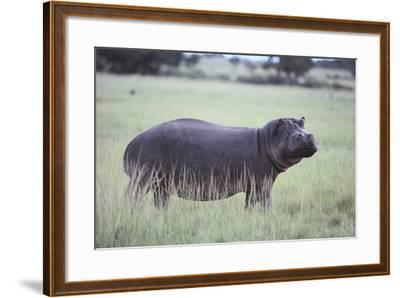 Hippopotamus in the Savanna Grass-DLILLC-Framed Photographic Print