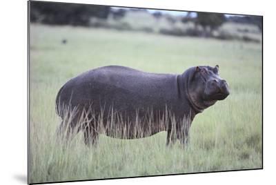 Hippopotamus in the Savanna Grass-DLILLC-Mounted Photographic Print