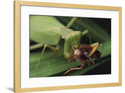 African Praying Mantis Eating a Bug-DLILLC-Framed Photographic Print