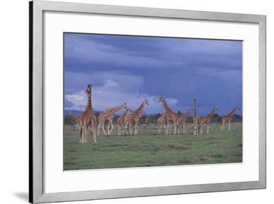 Giraffes Gathered on the Savanna-DLILLC-Framed Photographic Print