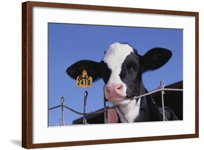 Holstein Calf with Eartag-DLILLC-Framed Photographic Print