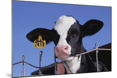 Holstein Calf with Eartag-DLILLC-Mounted Photographic Print