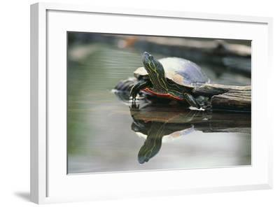Western Painted Turtle Reflected in Pond Water-DLILLC-Framed Photographic Print
