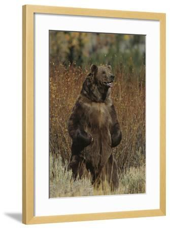 Grizzly Bear Standing in Meadow-DLILLC-Framed Photographic Print