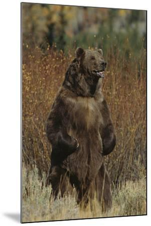 Grizzly Bear Standing in Meadow-DLILLC-Mounted Photographic Print