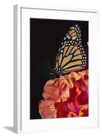Monarch Butterfly-DLILLC-Framed Photographic Print