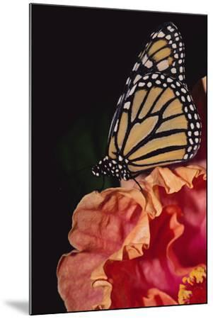 Monarch Butterfly-DLILLC-Mounted Photographic Print