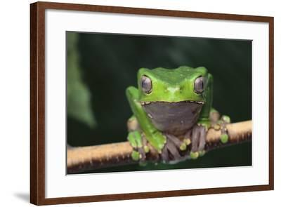 Monkey Tree Frog Perched on a Branch-DLILLC-Framed Photographic Print