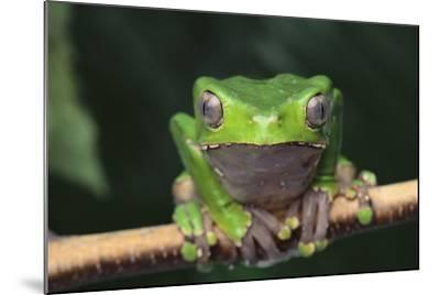 Monkey Tree Frog Perched on a Branch-DLILLC-Mounted Photographic Print