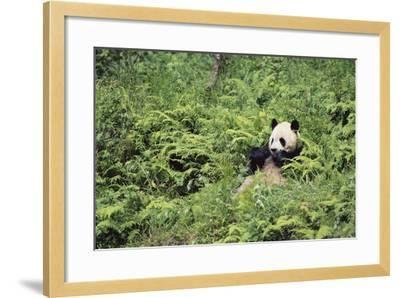 Giant Panda in the Forest-DLILLC-Framed Photographic Print