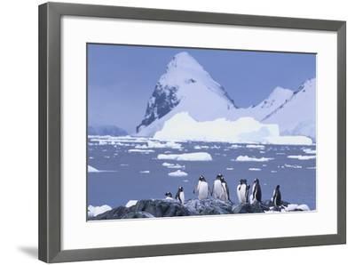 Gentoo Penguin-DLILLC-Framed Photographic Print
