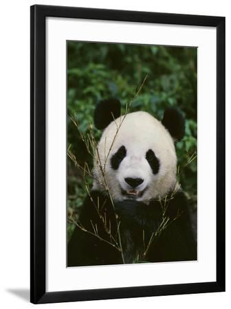 Giant Panda-DLILLC-Framed Photographic Print