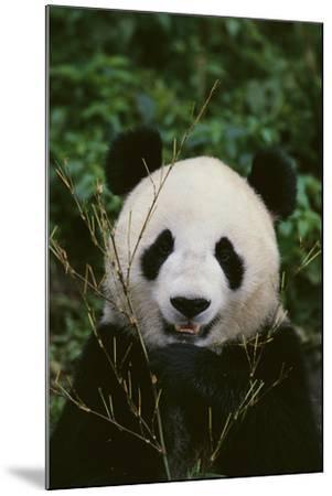 Giant Panda-DLILLC-Mounted Photographic Print