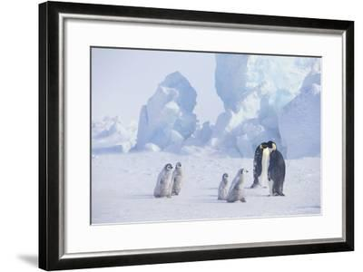 Young Emperor Penguins and Adult-DLILLC-Framed Photographic Print