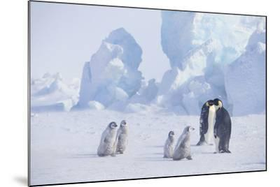 Young Emperor Penguins and Adult-DLILLC-Mounted Photographic Print