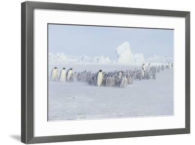 Emperor Penguins and Offspring-DLILLC-Framed Photographic Print