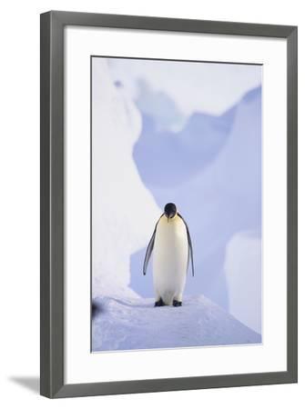 Emperor Penguin-DLILLC-Framed Photographic Print