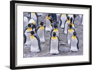 King Penguin-DLILLC-Framed Photographic Print