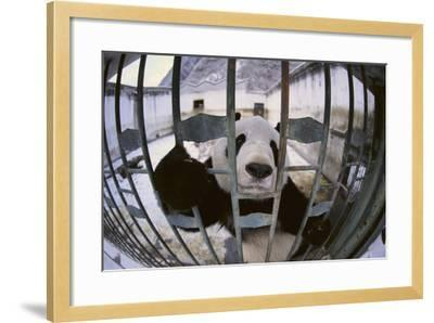 Panda in Cage-DLILLC-Framed Photographic Print