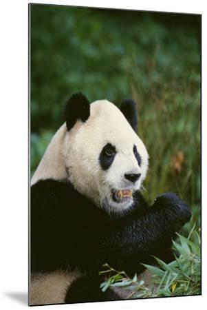 Giant Panda in the Forest-DLILLC-Mounted Photographic Print