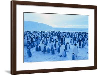 Emperor Penguins-DLILLC-Framed Photographic Print