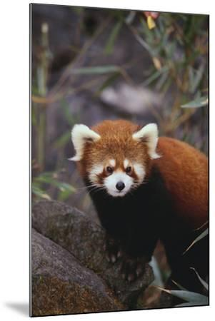 Red Panda-DLILLC-Mounted Photographic Print