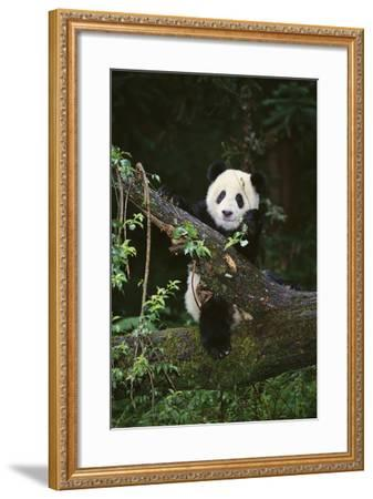 Panda on Fallen Tree-DLILLC-Framed Photographic Print