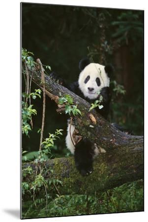 Panda on Fallen Tree-DLILLC-Mounted Photographic Print