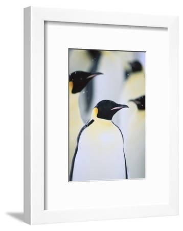 Emperor Penguins in the Snow-DLILLC-Framed Photographic Print