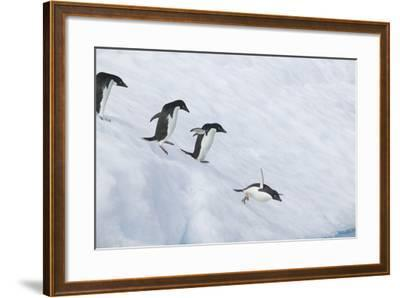 Adelie Penguins Jumping into the Sea-DLILLC-Framed Photographic Print