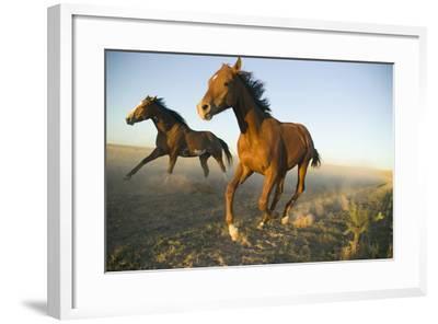 Quarter Horses Running in Field-DLILLC-Framed Photographic Print