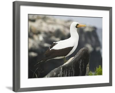 Nazca Booby-DLILLC-Framed Photographic Print