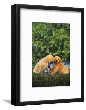 Lab and Golden Retriever Puppies-DLILLC-Framed Photographic Print