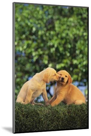 Lab and Golden Retriever Puppies-DLILLC-Mounted Photographic Print