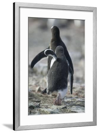 Gentoo Penguin Chick Chasing an Adult for Food-DLILLC-Framed Photographic Print