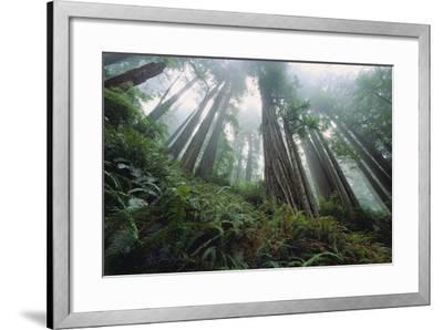 Old Growth Redwood Trees-DLILLC-Framed Photographic Print