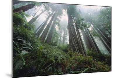 Old Growth Redwood Trees-DLILLC-Mounted Photographic Print