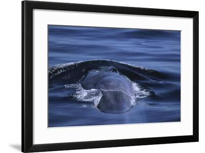 Blue Whale's Back-DLILLC-Framed Photographic Print