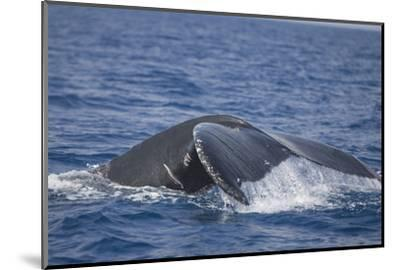 Humpback Whale Breaching from the Atlantic Ocean-DLILLC-Mounted Photographic Print