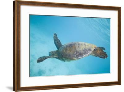 Green Sea Turtle-DLILLC-Framed Photographic Print