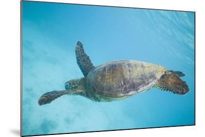 Green Sea Turtle-DLILLC-Mounted Photographic Print
