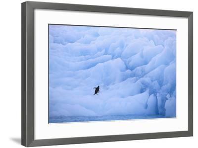 Adelie Penguin-DLILLC-Framed Photographic Print