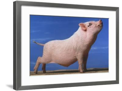 Vietnamese Pot-Bellied Pig Stretching-DLILLC-Framed Photographic Print