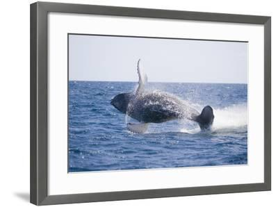 Humpback Whale Breaching-DLILLC-Framed Photographic Print