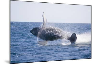 Humpback Whale Breaching-DLILLC-Mounted Photographic Print