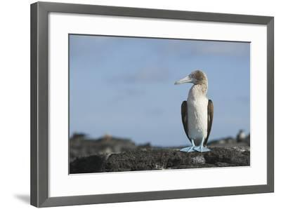 Blue-Footed Booby-DLILLC-Framed Photographic Print
