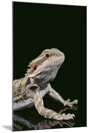 Bearded Dragon-DLILLC-Mounted Photographic Print