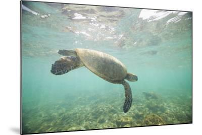Green Sea Turtle Swimming in Shallow Water-DLILLC-Mounted Photographic Print